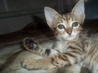 Изображение в Отдам даром - Приму в дар Приму в дар Котенок девочка, смесь ориентального кота в Нижнем Новгороде 0