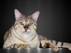 Изображение в Кошки и котята Вязка Котик опытный, уже имеет потомство. (При в Нижнем Новгороде 10000