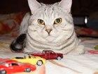 Фото в Кошки и котята Вязка Красивый кот породы Шотландский скоттиш - в Нижнем Новгороде 1000