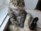 Фотография в Кошки и котята Вязка нам 4 года, кошка очень страдает, хочет кота. в Нижнем Новгороде 0
