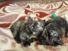 Фото в Кошки и котята Продажа кошек и котят Котята, две девочки, от домашней кошки. 23 в Нижнем Новгороде 0