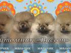 Фотография в Собаки и щенки Продажа собак, щенков Предлагаю для продажи/резервирования красивых в Нижнем Новгороде 0