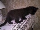 Изображение в Отдам даром - Приму в дар Отдам даром 2 черных котенка, девочки, ищут дом. Питаются в Нижнем Новгороде 0
