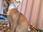 Скачать изображение  Абиссинская кошка 37896421 в Нижнем Новгороде