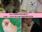 Изображение в Собаки и щенки Продажа собак, щенков По минимальным ценам красивых щеночков шпица в Нижнем Новгороде 10000