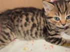 Изображение в Кошки и котята Продажа кошек и котят Продаю котят мальчик и девочка. Страйты! в Нижнем Новгороде 3000