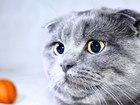 Увидеть foto Вязка Шотландский вислоухий кот ищет кошечку для вязки) 38929404 в Нижнем Новгороде