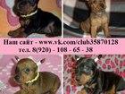 Изображение в Собаки и щенки Продажа собак, щенков Карликового пинчера (Цвергпинчера) красивеньких в Нижнем Новгороде 8500