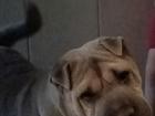 Новое фото  Отдам даром домашнюю собаку,девочка, 64917291 в Нижнем Новгороде