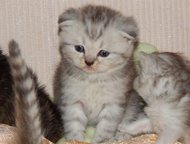 Шотландские котята Красивые котятки ищут заботливых родителей. Возможна доставка