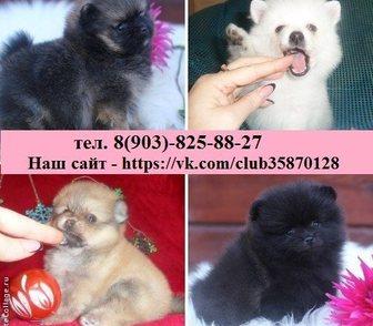 Изображение в Собаки и щенки Продажа собак, щенков ШПИЦА чистокровных и нечистокровных щеночков в Нижнем Новгороде 9000