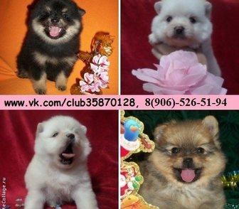 Фото в Собаки и щенки Продажа собак, щенков Очаровательные шпицы в продаже у нас по хорошим в Нижнем Новгороде 111