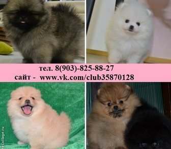 Изображение в Собаки и щенки Продажа собак, щенков Разных окрасов щенки померанского шпица! в Нижнем Новгороде 0