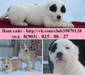 Фото в Собаки и щенки Продажа собак, щенков Алабая (Среднеазиатской овчарки) крупных в Нижнем Новгороде 0