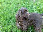 Фото в Собаки и щенки Вязка собак Ищем кобеля американского кокер-спаниеля в Нижнем Тагиле 0