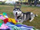 Фотография в Собаки и щенки Вязка собак Мальчик 1год и 4 месяца. Красивый, умный, в Ногинске 15000