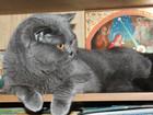 Свежее фото Вязка кошек Вязка с шотландским прямоухим котом, родословная, Опытный 47650811 в Ногинске