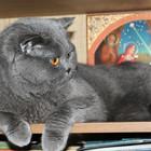 Вязка с шотландским прямоухим котом, родословная, Опытный