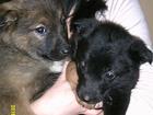 Изображение в Собаки и щенки Продажа собак, щенков шенки лайки помесь с немцем 2 месяца родились в Новоалтайске 2000