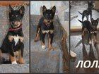 Уникальное фото Потери Пропал щенок в Абашево! 32498559 в Новокузнецке