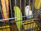 Просмотреть foto  Попугаи с клеткой 32530904 в Новокузнецке
