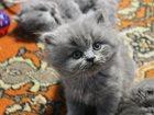 Фотки Британская короткошерстная смотреть в Новокузнецке