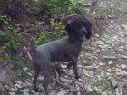 Скачать изображение Продажа собак, щенков ищем серебристого карликового пуделя мальчика! 32875884 в Новороссийске