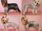 Изображение в Собаки и щенки Стрижка собак Мастер-грумер, аттестованный президентом в Новороссийске 0