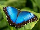 Новое фотографию Другие животные Живые тропические бабочки Morpho Peleides -Лучшие подарки на любой праздник 38989729 в Новороссийске