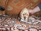 Смотреть фото  продам щенков кокер спаниеля:89137319543 спросить анатолия, 32477948 в Новосибирске