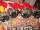 Уникальное фотографию Продажа собак, щенков Щенки пекинеса 32517819 в Кемерово