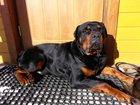 Изображение в Собаки и щенки Вязка собак Возарст 3, 5 года  Случек не имел.   Ищем в Новосибирске 0