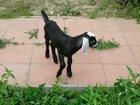 Скачать бесплатно изображение Другие животные нубийский козленок 33098428 в Новосибирске
