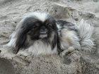 Изображение в Потерянные и Найденные Потерянные 7 августа пропала собака, пекинес, сука, в Новосибирске 0