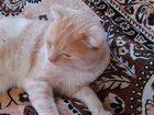 Фото в   Красивый котик ищет красавецу! Родители с в Новосибирске 0