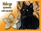 Изображение в Кошки и котята Продажа кошек и котят Питомник Adamand-coon предлагает к резерву в Новосибирске 0
