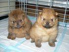 Изображение в Собаки и щенки Продажа собак, щенков Мальчики и девочки с родословной.   Цены в Новосибирске 25000