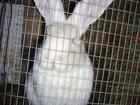 Фотография в Домашние животные Другие животные Продам кроликов мясной породы Фландр от двухмесячного в Новосибирске 1000