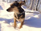 Смотреть фотографию  молодая собачка ответственным хозяевам 34466152 в Новосибирске