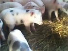 Уникальное фотографию Другие животные Поросята свиньи 34711865 в Новосибирске