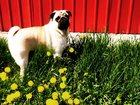 Фото в Собаки и щенки Вязка собак Активный, жизнерадостный мопс ищет подружку в Новосибирске 0