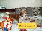 Foto в   Помесь той-терьера и чихуа-хуа в Новосибирске 0