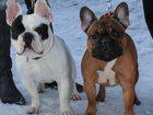 Фотография в Собаки и щенки Вязка собак Вязка. Ищем даму для вязке. Всю информацию в Новосибирске 5000