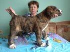 Фото в Собаки и щенки Продажа собак, щенков Продам высокопородных щенков сао с отличной в Новосибирске 0