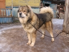 Смотреть изображение Услуги для животных Стрижка овец и крупных собак,машинкой, 35857620 в Новосибирске