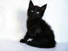 Изображение в Кошки и котята Продажа кошек и котят Питомник мейн кунов предлагает отличных , в Новосибирске 35000