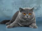 Фото в   Молодой Британский кот, приглашает на вязку в Новосибирске 0