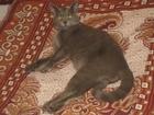 Изображение в Кошки и котята Вязка Кот породы наполовину британец с русской в Новосибирске 0
