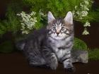 Фотография в Кошки и котята Продажа кошек и котят Котята курильского бобтейла, с отличной родословной в Новосибирске 15000