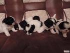 Фото в Собаки и щенки Продажа собак, щенков Очаровательные щенки японского хина! Очень в Новосибирске 8000